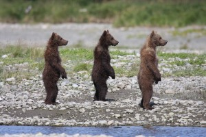 Standing cubs by Drew 20113